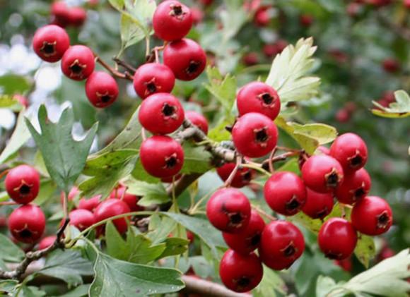 hawthorn berries 3