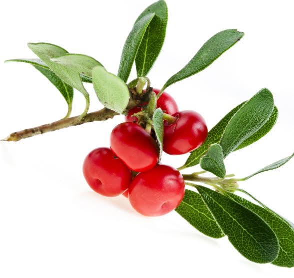 Bearberry  Wikipedia