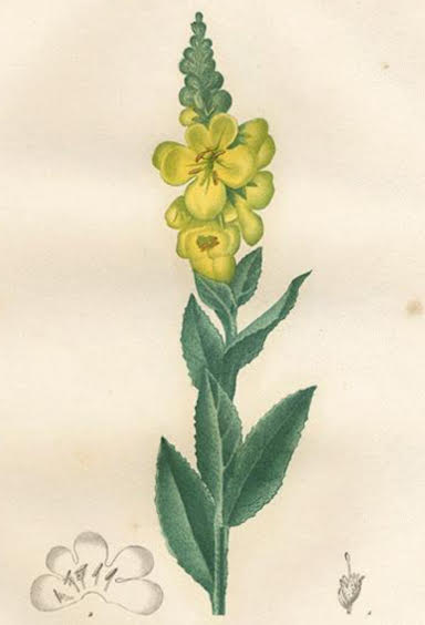 mullein drawing