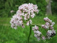 picture of valerina plant
